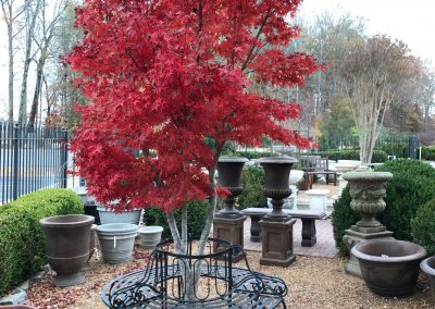 Japanese Maple and Tree Bench