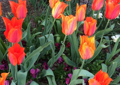 El Nino tulips in Spring