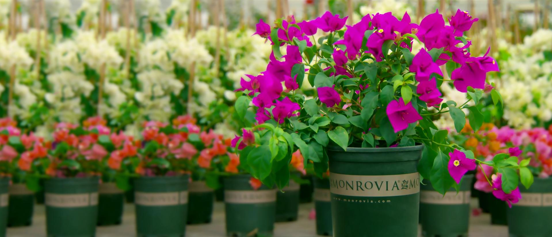 Monrovia The Greenery